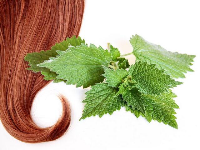 Крапива от выпадения волос